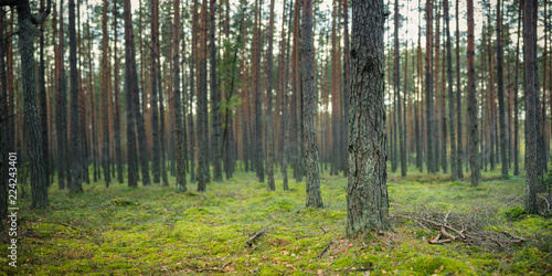 Fototapeten Wald forest landscape. panoramic view of a beautiful summer-autumn pine forest