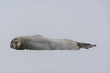 Crabeater Seal On The Ice