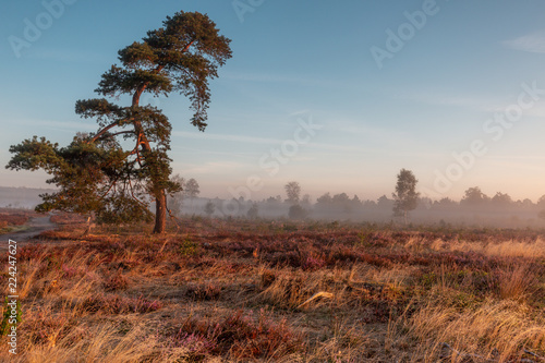Autumn sunrise with mist in a typical Dutch landscape of heather in a moorland field with a solitary curved pine tree