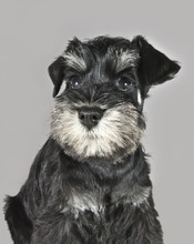 Curious Black And Silver Schnauzer Puppy
