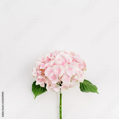 Pink hydrangea flower on white background. Flat lay, top view.