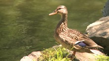 Duck Sits By Water's Edge (2 Of 3)