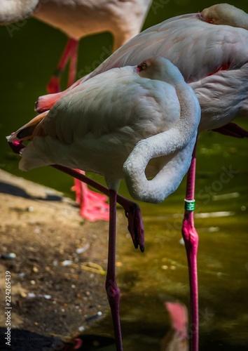 Foto op Plexiglas Flamingo Flamant rose