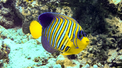 Photo Regal angelfish in the coral reef, Maldives.