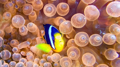 Close up of anemone fish in the maldives. Fototapet
