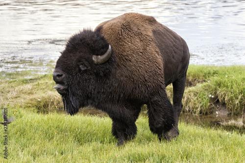 American buffalo bull (Bison bison) calling