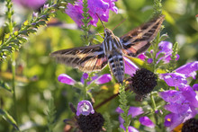White-Lined Sphinx Moth (Hyles...