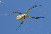 Banded Garden Spider (Argiope Trifasciata) On The Blue Sky Background