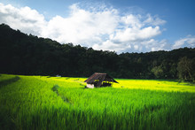 Rice Plant Green Rice Field