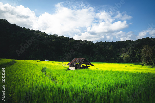 Poster Rijstvelden rice plant Green rice field