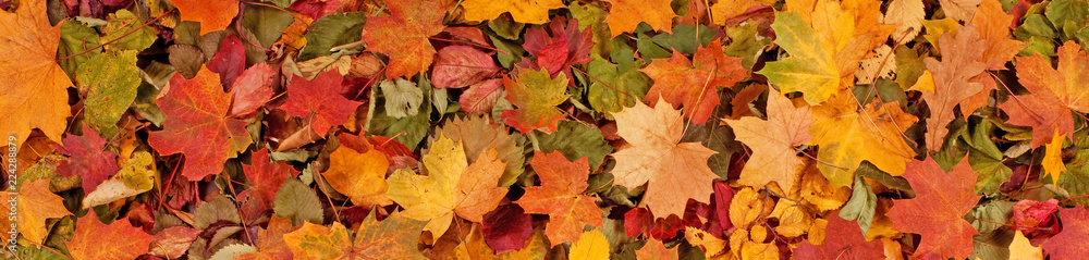Fototapety, obrazy: Colorful seasonal autumn background pattern, Vibrant carpet of fallen forest leaves.