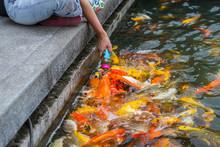 Feeding By Hand For Koi Fish I