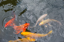 Colorful Koi Fish Swimming In A Water Pond