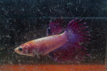 Siamese Fighting Fish Injuries Head And Tail After Fighting