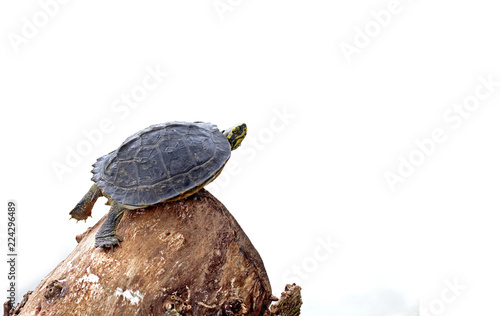 Foto op Aluminium Schildpad turtle on timber on isolated white background