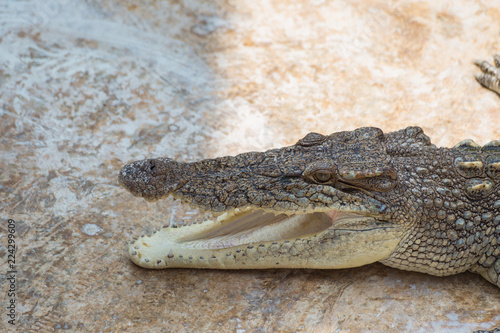 Foto op Aluminium Krokodil Crocodile on the cement floor