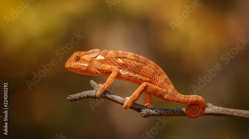 Flap necked chameleon with amazing blurry background. Wild chameleon in the nature habitat. African wildlife. African jewel. Chameleo dilepis.