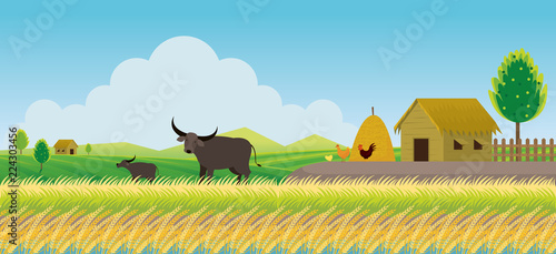 Thailand Rice or Paddy Field Background, Countryside Scene