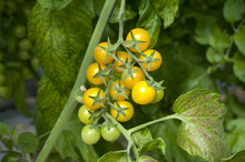 Cherry Tomatos Yellow And Red