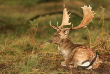 A Stunning Stag Fallow Deer ( Dama Dama) Resting In A Wooded Area During Rutting Season.