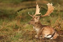 A Stunning Stag Fallow Deer ( ...