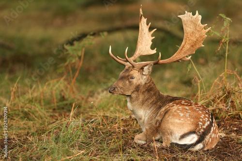 Fototapeta A stunning stag Fallow Deer ( Dama dama) resting in a wooded area during rutting season. obraz