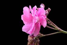 Isolated Pink Oleander On Black Background
