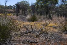 Hyden Australia, View Of Wildflowers In Bush Along The Gnamma Trail