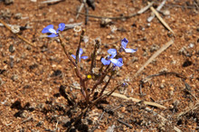 Hyden Australia, Purple Wildfl...