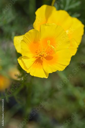 Fotografie, Obraz  Golden poppy flower