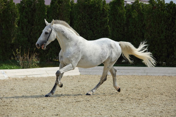 Andalusian white horse galloping on a meadow