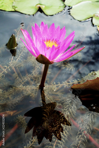 Foto op Canvas Lotusbloem Purple lotus in a pond