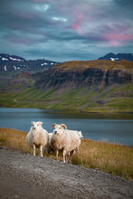 Sheeps At The Beautiful Landscape View Of Iceland