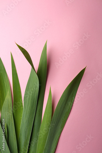 Iris leaves on pink background