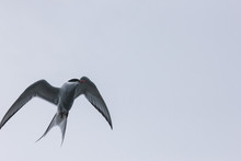 Motion Shot Of Arctic Tern Fly...
