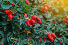 Bush Of A Dogrose In The Rays Of The Sun In The Evening. Green Leaves, Red Berries
