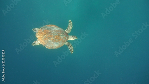 Deurstickers Schildpad Sea turtle swimming underwater in the sea. Turtle moves its flippers in the ocean under water in the rays of the sun. Wonderful and beautiful underwater world. Diving and snorkeling the tropical sea