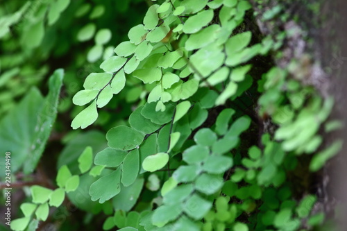 maidenhair fern on old wooden in fresh nature