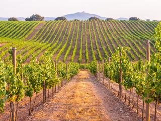 Vinova loza u vinogradu u regiji Alentejo, Portugal, na zalasku sunca