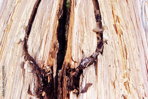 Fotografía  White texture of the tree trunk with a channeled passage and dark larvae in it,