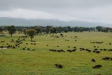 Buffaloes Grazing At Taita Hills Game Sanctuary, Voi, Kenya