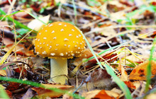 Poisonous Mushrooms In The Forest, Fly Agaric, Bright Yellow. (Lat Amanita Gemmata). Contains A Narcotic Substance Of Vegetable Origin. Selective Focus, Close-up.