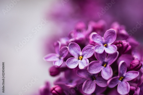 Closeup of a violet purple lilac flowers in the spring