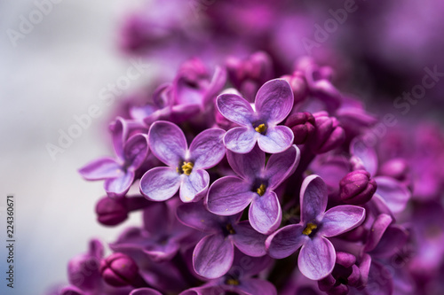 Valokuva Closeup of a violet purple lilac flowers in the spring