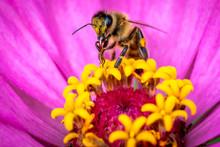 Honeybee Or Bee On Flower Doin...