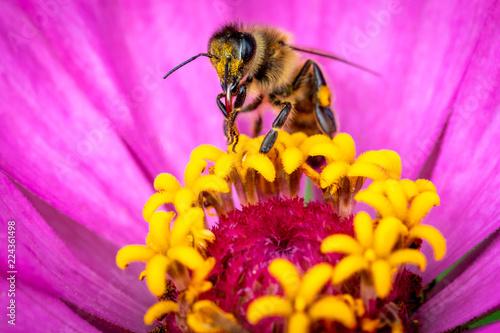 Photo Honeybee or Bee on flower doing polliniation