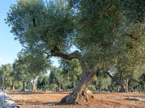 Tuinposter Olijfboom Contorted olive Tree