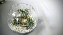 Air Plants, Tillandsia In Glass Jar Arrangement With Pebbles And Stones