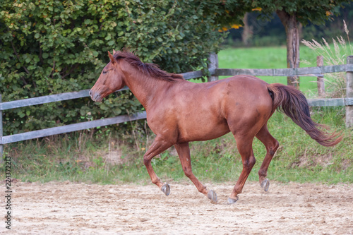 Horse galloping on fenced in training paddock