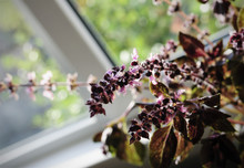 Flowering Branch Of Basil On The Window Of Countryside House